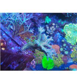 Acropora verde-azul