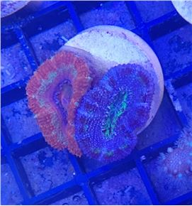 acanthastrea fire & ice