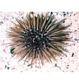 echinometra